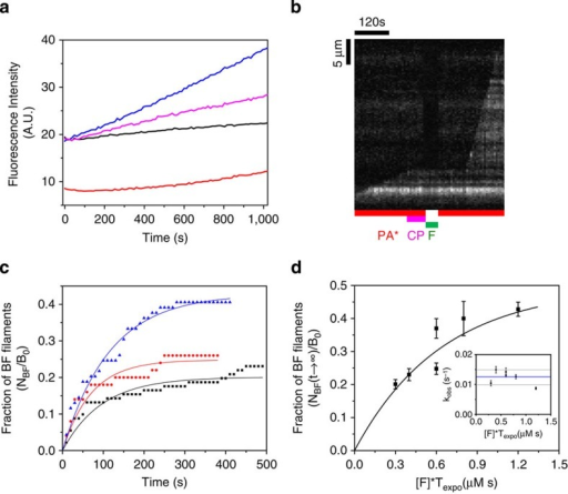 Formin mDia1 binds to CP-capped filaments and rapidly uncaps via a transient BCF state.(a) Pyrene actin polymerization assay demonstrates uncapping of capped barbed ends (BC), by formin. Capped filaments (5 μM F-actin, 2% pyrenyl labelled and 5 nM CP) were diluted 50-fold in F-buffer containing 2 μM G-actin (2% pyrenyl labelled) and 6 μM profilin and the following additions: none (black), 2 nM formin (blue) and 4 μM CIN85 (magenta). Red curve is a filament nucleation control (2 μM actin, 6 μM profilin and 2 nM formin) in the absence of CP-capped filaments. Note that a small percentage of non-capped filaments are responsible for the non-zero initial rate in the black (free barbed ends) and blue (formin-bound barbed ends) curves. Dead time is about 20 s. (b) Kymograph of a capped filament undergoing uncapping and fast processive growth on exposure to formin mDia1. Filament was elongated from anchored spectrin–actin seeds in the presence of PA, then exposed to 20 nM CP and PA for 1 min (B+C→BC). The capped filament is later exposed to 40 nM formin in the absence of PA for 40 s (BC+F→BCF). Once formin was removed from the flow and PA was introduced, fast elongation was observed (BCF→BF+C). (c) Fraction of filaments (in experiment described in b) that resume rapid elongation (BF state) during exposure to PA only, versus time, from an initial population of capped filaments exposed to 10 nM (black, n=91 filaments), 20 nM (red, n=50 filaments) and 40 nM (blue, n=69 filaments) formin for 30 s. Symbols represent the experimental data and the solid lines are the exponential fits. Only three representative CDFs are shown here for the ease of reading, see Supplementary Fig. 9 for details. (d) The maximum fraction of BF filaments (plateau values of curves such as shown in c) as a function of formin concentration [F] times the exposure duration (Texpo). The solid line is an exponential fit corresponding to equation (3). Inset: kobs=k′−C+k′−F is independent of the experimental condition. Horizontal lines represent the average (blue) plus or minus the s.d. (grey). Error bars: s.e.m.
