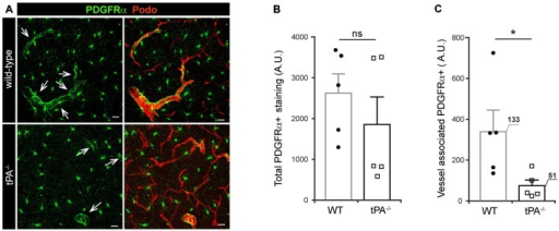Decreased expression of perivascular PDGFRα in brains of tPA−/− mice. (A) Immunofluorescent staining of murine brain sections from tPA−/− deficient mice (n = 5) and WT littermate controls (WT, n = 5) with antibodies directed against PDGFRα displayed fewer PDGFRα-positive (PDGFRα+) vessels (arrows) in tPA−/− mice compared to WT littermate controls. (B–C) Quantification of the PDGFRα staining by pixel intensity from nine maximum intensity confocal Z-stacks per animal revealed that there was no significant difference in the overall amount of PDGFRα staining (B), but that perivascular PDGFRα expression was significantly reduced in tPA−/− mice as compared to WT littermate controls (C). The number of PDGFRα+ vessels analyzed is displayed on the respective bars. The data shown are representative quantifications of nine maximum intensity confocal Z-stacks per animal and images from epifluorescent tiles of the entire brain from three independent staining experiments. The images display maximum intensity projections generated from confocal Z-stacks (22 μm). Cell nuclei were visualized with DAPI and vessels with podocalyxin (Podo). Data presented as mean ± SEM. Statistical significance was determined by student's unpaired t-test and *P < 0.05; ns = non significant relative to control. Scale bars 20 μm. Arbitrary units, A.U.