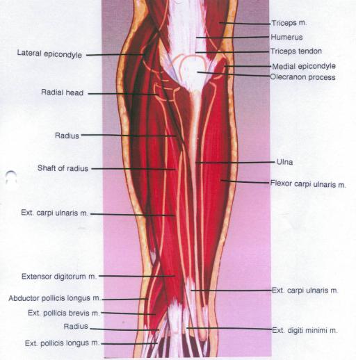 lateral epicondyle; radius; extensor carpi ulnaris musc | Open-i
