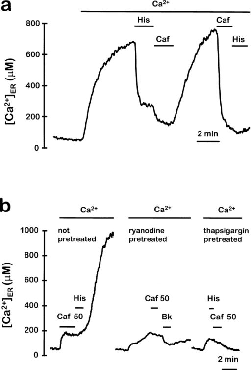Effects of histamine and caffeine and pretreatment  with ryanodine or thapsigargin on [Ca2+]ER. HSV-1–infected  chromaffin cells were depleted of Ca2+ and reconstituted with  coelenterazine n. (a) The ER was refilled by incubation with medium containing 1 mM Ca2+, then either 10 μM histamine or  50 mM caffeine were perfused as indicated. (b) Where indicated,  ryanodine-pretreated cells were treated before aequorin reconstitution with medium containing 50 mM caffeine and 10 μM  ryanodine for 2 min. Cells were then washed and the same treatment was repeated four times at 2-min intervals. Where indicated,  thapsigargin-pretreated cells were incubated with 1 μM thapsigargin for 10 min before starting the record. During the experiments,  medium containing 1 mM Ca2+ and either 50 mM caffeine, 1 μM  bradykinin, or 10 μM histamine was perfused as indicated.