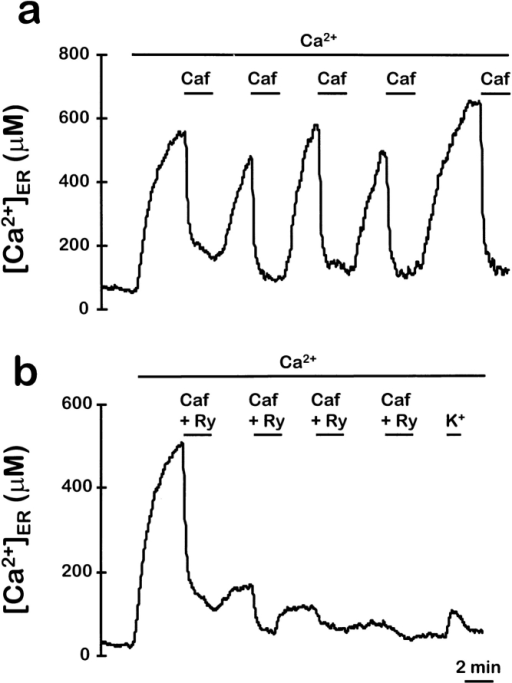 Use-dependent inhibition of ER refilling by ryanodine.  The ER was refilled by perfusing with medium containing 1 mM  Ca2+. Then, several consecutive stimulations with 50 mM caffeine were performed as indicated, either in the absence (a) or in  the presence (b) of 10 μM ryanodine. In b, standard medium containing 70 mM KCl (replacing an equimolar amount of NaCl)  was perfused when indicated (K+). Other details are as in Fig. 1.