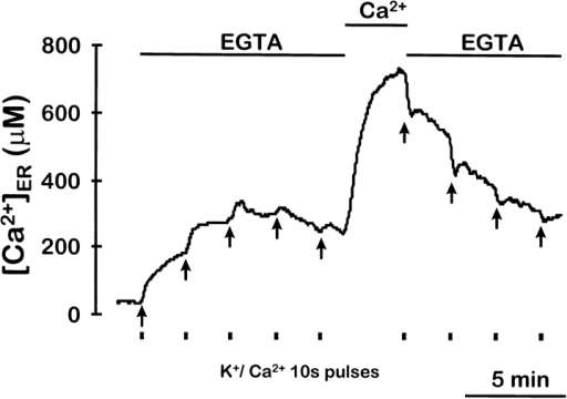 Effect of [Ca2+]ER on CICR induced by depolarization  with high K+. Cells depleted of Ca2+ and reconstituted with coelenterazine n were placed in the luminometer in 0.5 mM EGTA  containing standard medium. Then, 10-s pulses of medium containing 70 mM KCl and 2 mM CaCl2 were given as indicated and  0.5 mM EGTA containing standard medium was perfused during  the intervals. After five pulses, Ca2+-containing (1 mM) medium  was perfused for 3 min to refill the ER, and then the previous  protocol was started again.