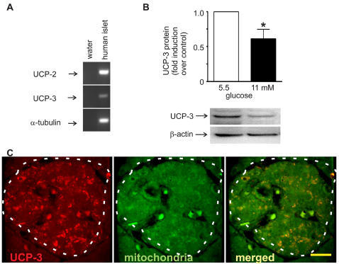 UCP-3 is expressed in human islets.A Human UCP-2, UCP-3 and α-tubulin mRNA expression in human islets. B Human islets were cultured at 5.5 or 11 mM glucose, and total protein extracts were analyzed on a western blot using UCP-3 antibodies. The intensities of the protein signal were quantified by scanning of images; blots for UCP-3 and β-actin is shown for one representative experiment. Data are expressed as means±SE, n = 3, * p<0.05. C UCP-3 is expressed in human pancreatic islets, where it colocalizes with mitochondria. A representative layer of human pancreata is depicted showing UCP-3, mitochondria and overlay. Images were acquired using confocal microscope and imaged at x63 magnification, bar = 20 µm.