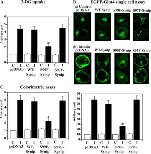 Synip phosphorylation is required for glucose uptake and GLUT4 translocation. (A) In 3T3L1 adipocytes, pcDNA3, FLAG-WT-Synip, FLAG-S99F-Synip, or FLAG-S97F-Synip was introduced by electroporation (Min et al., 1999). After 48 h of recovery, serum was removed for 6 h. Cells were stimulated by insulin for 30 min. 3H-labeled 2-deoxyglucose uptake was measured as described in Materials and methods. FLAG-S99F-Synip significantly inhibited 3H-labeled 2-deoxyglucose uptake (*, P < 0.05). (B) In 3T3L1 adipocytes, eGFP-GLUT4 and either pcDNA3, FLAG-WT-Synip, FLAG-S99F-Synip, or FLAG-S97F-Synip were introduced by electroporation (Min et al., 1999). After 48 h of recovery, serum was removed for 6 h. Then, cells were stimulated by insulin for 30 min. EGFP signal was detected by confocal microscopy, and rim formation was considered as completely translocated eGFP-GLUT4 in this assay. FLAG-S99F-Synip significantly inhibited GLUT4 translocation (*, P < 0.05). Experiments were repeated four times. (C) In 3T3L1 adipocytes, eGFP-myc-GLUT4 and either pcDNA3, FLAG-WT-Synip, FLAG-S99F-Synip, or FLAG-S97F-Synip were introduced by electroporation (Min et al., 1999). Myc was inserted in the second loop of GLUT4 to expose to the outside of the plasma membrane after insulin stimulation. When myc signal was detected, docking/fusion step was completed and GLUT4 translocation was accomplished. Myc signal was estimated as described in Materials and methods. FLAG-S99F-Synip significantly inhibited GLUT4 translocation (*, P < 0.05). Experiments were repeated eight times.