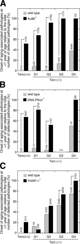 Effect of Ku86, DNA-PKcs, or PARP-1 deficiency on the early onset of age-related pathologies in successive generations of telomerase-deficient mice. Mice with telomerase (Terc+/+) and four successive generations of telomerase-deficient (Terc−/−) mice (G1–G4) that were either wild-type (gray bars) or deficient (black bars) for Ku86 (A), DNA-PKcs (B), and PARP-1 (C) were killed when they showed signs of poor health and analyzed for the occurrence of a variety of age-associated pathologies (see Table S1, available at http://www.jcb.org/cgi/content/full/jcb.200407178/DC1). Here, we show the onset of these aging-associated pathologies in animals younger than 1 yr of age in a given mouse group relative to the total number of detected pathologies in that group. The number of senile lesions detected in young animals (<1 yr) in relation to the total number of lesions detected in the respective mouse group is given above each bar; for example, as shown in A, in the Terc+/+/Ku86−/− mouse cohort we detected a total of 21 senile lesions and 11 of them were detected in mice younger than 1 yr of age. Significant differences (P < 0.05, Fisher's exact test) between single and double mutant animals are indicated by an asterisk; n.a. = not analyzed.