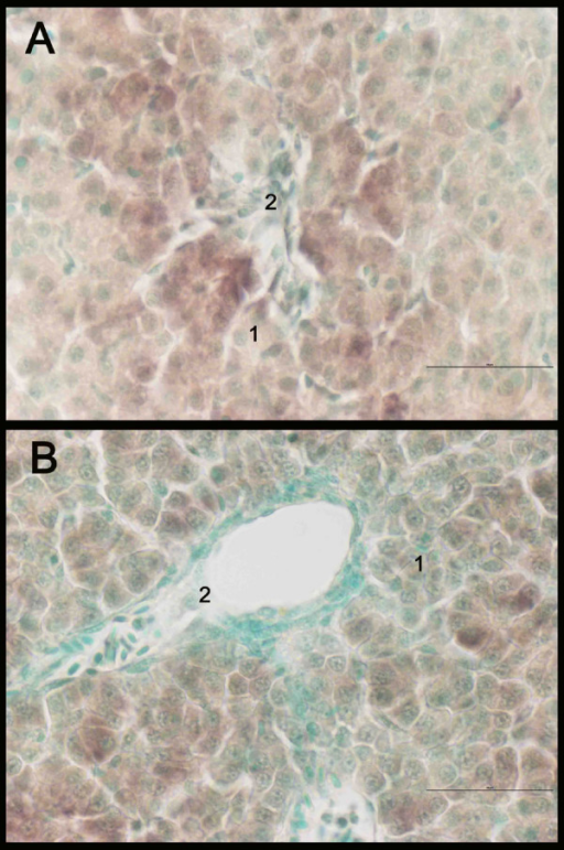 In situ hybridization staining of CYP1A (brown) in liver of Atlantic salmon Salmo salar exposed to β-naphthoflavone (A) and control (B). Nucleus staining with methyl green. 1: hepatocytes, 2: blood vessel. Scale bar = 50 μm.