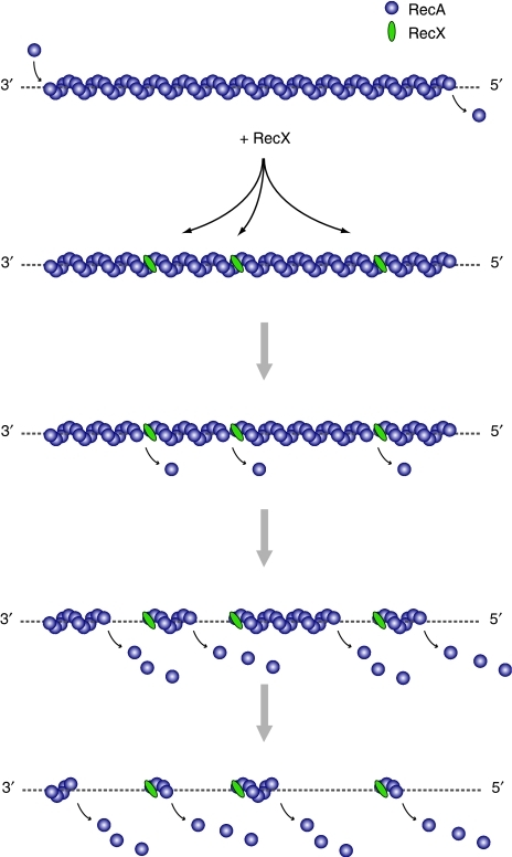 Model of RecX-dependent destabilisation of RecA nucleoprotein filaments. RecX binding to the filament causes localised dissociation of RecA protomers and increased number of 5′-ends, leading to overall filament disassembly.