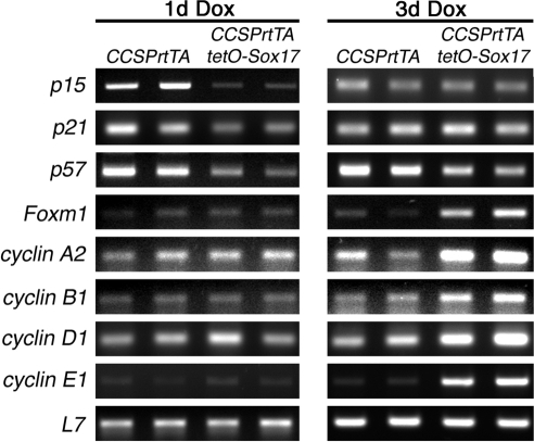 Sox17 regulates genes that control the cell cycle.RT-PCR was used to assess expression of cell cycle-related genes in lung tissue from adult CCSPrtTA and CCSPrtTA/tetO-Sox17 mice treated with Dox for 1 or 3 days. Transcripts for the cyclin-dependent kinase inhibitors p15, p21, and p57 were decreased in Sox17 transgenic lungs after 1 day of Dox and mRNAs for genes associated with cell cycle progression were increased by Sox17 after 3 days Dox exposure. L7 was used as a loading control.