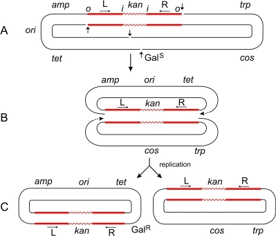 Steps in the formation of Tn5-promoted adjacent deletions.The plasmid p4.1 (A) carrying Tn5 was used for the selection of deletions conferring galactose-resistance (GalR). Using the replicative mechanism, Tn5 would be nicked at its termini to produce 3′ ends that would attack the target DNA sequence and join the 5′ ends from the same strand. This would result in the formation of a Shapiro intermediate containing replication forks at both ends of the transposon (B). After replication is completed, two deletion circles would be formed (C), only one of which would carry the origin of replication (ori) and survive. Thus a series of overlapping deletions starting from a fixed site at the right transposon terminus and extending to various sites in the gal region and beyond can be selected positively as GalR colonies. This has been the basis for the development of vectors for DNA sequencing [23]. The Shapiro intermediate can also be formed at individual IS elements (for instance, IS50L) to produce deletions extending from an inside end of the transposon. However, the majority (95%) of deletions in Tn5 start from the outside end. If Tn5 transposed solely by the conservative mechanism, both outside ends of the transposon would be cleaved by double-strand breaks; so, no viable deletion products would be formed after strand-transfer since the plasmid backbone would have been cut at the other end too. That such deletions are actually recovered in large numbers suggests that Tn5 can also utilize the replicative mechanism for its transposition. The plasmid, p6A.1, which carries Tn10 instead of Tn5, behaves in a different manner. It produced deletions solely from an inside end, and none from the outside end [6]. This behavior is to be expected since Tn10 uses the conservative mechanism, and double-strand cuts made at the outside ends would generate inviable deletion products. On the other hand, double-strand cuts made at the two inside ends of Tn10 would generate viable products. The 3′ ends from the inside ends would attack the target sequence and join 5′ ends from the same strand to produce two deletion circles, only one of which would carry ori and survive. This is actually found to be the case. (If the 3′ ends from the inside ends joined the 5′ ends from the opposite strand, the result would be a deletion-inversion as described in the legend to Figure 2.) Hence, the difference between the formation of transposon-promoted deletions and inversions is very narrow and depends on the topology of strand attacks: same-strand attacks produce two deletion circles; opposite-strand attacks produce an inversion circle [24].