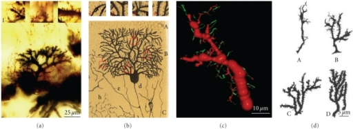 (a) Shows Purkinje cell forming the dendritic branchlets, Cajal histological preparation, Golgi method, newborn cat. Insets: 1, terminal filopodia; 2, thin dendritic spines; and 3, dendritic spines contacting climbing fibers. (b) Purkinje cell, 15-day-old cat. Insets show filopodia and thin dendritic spines, Cajal scientific drawing [23, Figure 2]. (c) Purkinje cell, apical branch, three-dimensional reconstruction showing dendritic filopodia and protospines (green) and few dendritic spines (red), newborn cat. (d) Purkinje cell, dendritic filopodia, protospines and dendritic spines, rat of 5 days (A), 10 days (B), 15 days (C), and 30 days (D); scientific drawing of Berry and Bradley [24].