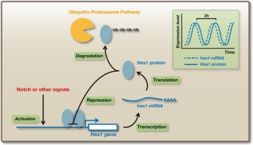 Oscillatory expression of Hes1. Hes1 expression oscillates with a period of ∼2 h in many cell types such as neural stem/progenitor cells and fibroblasts. Hes1 represses its own expression by directly binding to its promoter. This negative feedback leads to the disappearance of Hes1 mRNA and protein, because they are extremely unstable, allowing the next round of its expression. In this way, Hes1 autonomously starts an oscillatory expression pattern.
