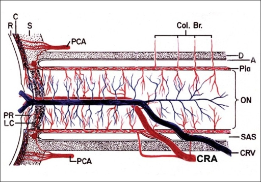 Schematic representation of blood supply of the optic nerve (A = arachnoid; C = choroid; CRA = central retinal artery; Col. Br. = collateral branches; CRV = central retinal vein; D = dura; LC = lamina cribrosa; ON = optic nerve; P = pia; PCA = posterior ciliary artery; PR = prelaminar region; R = retina, S = sclera; SAS = subarachnoid space)