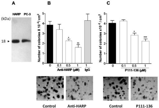 Inhibition of PC-3 colony formation by peptide P111-136 and association with the HARP receptors. (A), Western blot analysis of HARP in the conditioned media of PC-3 cells (PC-3), 20 ng of recombinant HARP was used as reference. (B), polyclonal anti-human HARP antibody or control IgG or (C), P111-136 peptide were added to the culture medium twice a week. After 12 days, colonies with diameters greater than 50 μm were identified using a phase-contrast microscope equipped with a reticule. Representative pictures of colonies are shown below each treatment. Scale bar, 100 μm. Asterisks denote statistically significant differences with the corresponding untreated cells. Data are the means +/- SD of two experiments, each carried out in triplicate. *0.01 <p < 0.1, **0.001 <p < 0.01, and *** p < 0.001.
