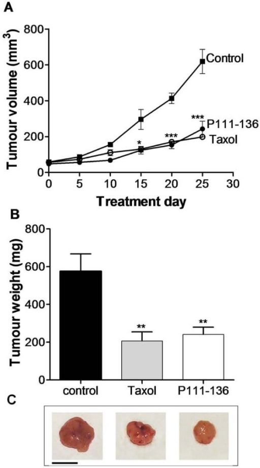 Inhibition of tumour growth by peptide P111-136. (A), Tumour-growth curves. PC-3 carcinoma cells (2 × 106) were injected subcutaneously into the right flanks of female nude mice. When tumour size was about 60 mm3, mice received peritumoral injections of P111-136 (5 mg/kg/day) (black circle), Taxol® (10 mg/kg twice a week) (white circle), or PBS used as vehicle. (black square) for 25 days. Tumours were measured twice a week. (B), The mice were sacrificed 25 days after the cell injection; the tumours were excised and weighed. (C), A representative excised tumour of each group was represented below. Scale bar, 1 cm. The data are mean tumour volume or weight +/- SD obtained from 5 mice in each group. *p < 0.05, **p < 0.01, and ***p < 0.001 versus control (untreated tumours).