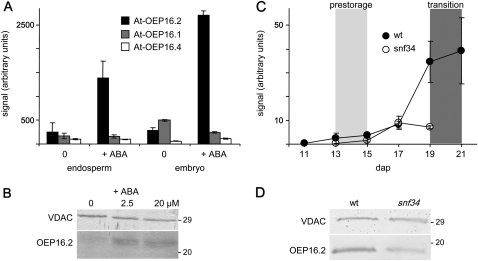 Specific ABA induction of OEP16.2 expression in seeds. (A) Digital northern blot of At-OEP16.2 (black), At-OEP16.1 (grey), and At-OEP16.4 (white) expression (arbitrary units) in Arabidopsis endosperm and embryo tissue. Prior to dissection, seeds were germinated for 24 h without (0) and with 20 μM ABA (described in Penfield et al., 2004). Data used to create the expression profile were obtained from the analysis by Penfield et al. (2004) using NASCArrays database (http://affy.arabidopsis.info/narrays/experimentbrowse.pl), experiment NASCARRAYS 386. Signal intensities were averaged from three biological replicates (n=3, ±SD). (B) Western blot analysis of At-OEP16.2 in protein extracts (7.5 μg each) from Arabidopsis seeds, germinated for 48 h on medium containing 0, 2.5, and 20 μM ABA. (C) Transcript content of Ps-OEP16.2 (n=2, ±SD, arbitrary units) in developing pea seeds of the wild type (black) and the Vf-SnRK1-antisense line snf34 (white). The age of seeds is given in days after pollination (dap). According to the definition by Radchuk et al. (2006), delayed down-regulated genes are highly expressed in the pre-storage phase 13–15 dap (light grey area), and delayed up-regulated genes are continuously increased during seed maturation, starting in the transition phase at 19–22 dap (dark grey area). (D) Immunoblot analysis of Ps-OEP16.2 in protein extracts (4 μg each) from wild-type and VfSnRK1-antisense (snf34) pea seeds, isolated 20 dap. (B and D) Antiserum against the marker protein VDAC (outer membrane of mitochondria) was used as a loading control. Numbers indicate the molecular mass of proteins in kDa.