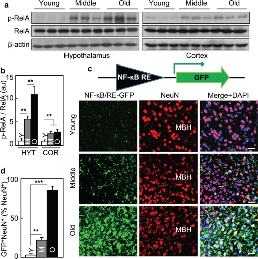 Aging-dependent hypothalamic NF-κB activation57BL/6 mice (chow-fed males) were analyzed at young (3–4 months) age (Y), middle-old (11–13 months) age (M), and old (22–24 months) age (O). a&b. Hypothalami were analyzed via Western blots. b: Intensity of p-RelA normalized by RelA (au: arbitrary unit). c&d. Mice received MBH injections of lentiviral GFP controlled by NF-κB response element (NF-κB/RE), and following ~3-week recovery, brain sections were made to reveal GFP and NeuN stainining. DAPI staining shows entire cell populations. Bar = 25 µm. d: Percentages of cells co-expressing GFP and NeuN (GFP+NeuN+) among NeuN-expressing cells (NeuN+) in the MBH. **P < 0.01, ***P < 0.001; n = 6 (b) and 3 (d) per group. Error bars reflect mean ± SEM.