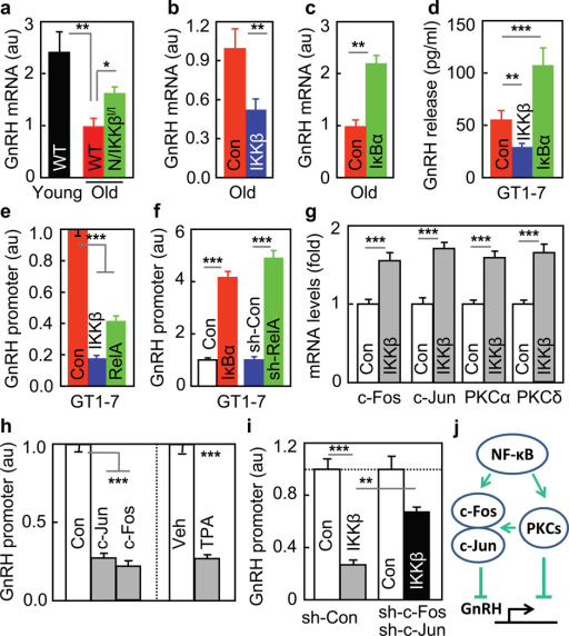 Inhibition of GnRH by IKKβ/NF-κBa–c Hypothalamic GnRH mRNA of indicated mice. d–g. GT1–7 cells were transfected with CAIKKβ, RelA or DNIκBα vs. control (Con) plasmid (d,e,g), co-transfected with GnRH-promoter luciferase plasmid (e&f), or together with RelA shRNA (sh-RelA) vs. control shRNA (sh-Con) plasmid (f), and were measure for GnRH release (d), GnRH promoter (e&f), and c-Fos, c-Jun, PKCα and PKCδ mRNA levels (g). h. GnRH promoter activities were measured for GT1–7 cells transfected with GnRH-promoter luciferase plasmid, co-transfected with c-Jun or c-Fos plasmid vs. control plasmid (Con), or treated with TPA vs. vehicle (Veh). i. GnRH promoter activities were measured for GT1–7 cells transfected with GnRH-promoter luciferase plasmid, co-transfected with CAIKKβ vs. control (Con) plasmid, and with c-Fos/c-Jun shRNA plasmids (sh-c-Fos/sh-c-Jun) vs. scramble shRNA control (sh-Con). j. Summarized schematic model. *P < 0.05, **P < 0.01, ***P < 0.001; n = 12 (a&e) and 3 (f–i) per group, and n = 6 (b), 8 (c) and 4 (d) in Con, n = 8 (b) and 6 (d) in IKKβ, and n = 8 (c) and 6 (d) in IκBα. Error bars reflect mean ± SEM.