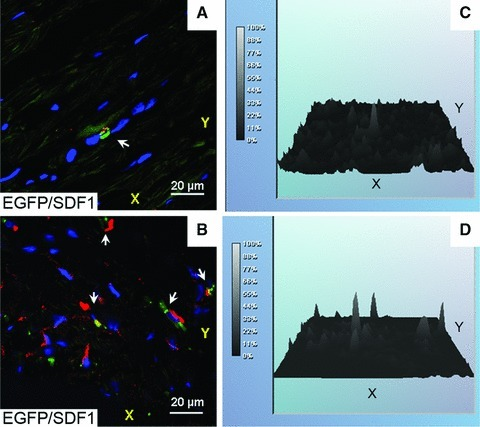 Immunofluorescence assessment of the combined effect of cardiac stem cells on the expression of SDF-1 and myosin in myocardium after 4 months following implantation. (A, B) Projections of SDF-1 in the rat heart specimens from control and LAD-treated groups, respectively. (C, D) Relative intensities of immunofluorescence of SDF-1 shown in (A) and (B), respectively. Stem cells were labelled with EGFP (in green) as indicated in Materials and Methods. Fluorescent signals from SDF-1 and nuclei were collected in the red and blue channels, respectively. Localization of SDF-1 in EGFP-labelled cells is indicated with white arrows. (E, F) Projections of myosin (in red) in the rat heart specimens from control and LAD-treated groups, respectively. (G, H) Relative intensities of immunofluorescence of myosin shown in (E) and (F), respectively.