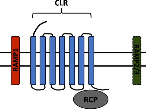 CGRP receptor composition. The CGRP receptor is a hetero-trimeric protein comprised of the GPCR calcitonin receptor-like receptor (CLR), coupled to a receptor activity modifying protein (RAMP). There are three RAMP isoforms that govern receptor pharmacology; RAMP1 containing receptors are CGRP-binding, whilst RAMP2/3 containing receptors are adrenomedullin-binding .The intracellular receptor component protein (RCP) facilitates secondary messenger signaling. Different tissues/cells can express multiple RAMP isoforms, resulting in a complex pharmacological profile