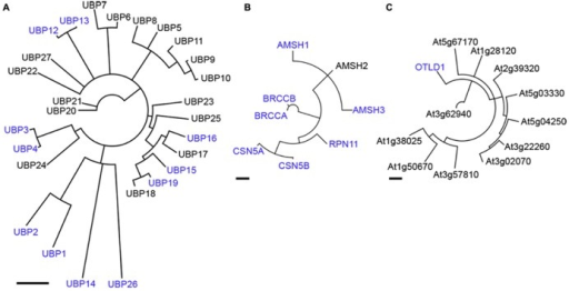 Phylogenetic analyses of Arabidopsis UBP-, JAMM-, and OTU-domain proteinases. A Neighbor-Joining consensus tree based on amino acid sequences surrounding the catalytic domain for Arabidopsis UBP- (A), JAMM- (B) and OTU- (C) domain proteins is shown. Scale bars indicate 0.5 aa substitutions per site. DUBs mentioned in the text are highlighted in blue. Note that CSN5A and CSN5B shown in (B) are deneddylating- and not deubiquitylating enzymes.