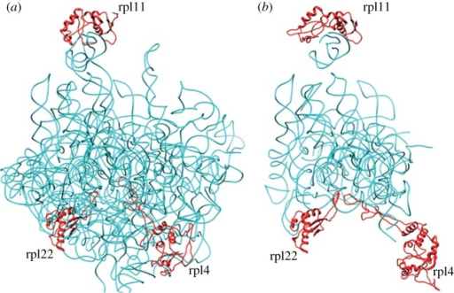 Structure models of P. falciparum apicoplast (a) and mitochondrial (b) LSU rRNA and proteins L11, L4 and L22. The rRNA and protein subunits were modelled separately and superimposed on the E. coli ribosome template to generate the ribosome complexes. LSU rRNA is shown in cyan and proteins in red.