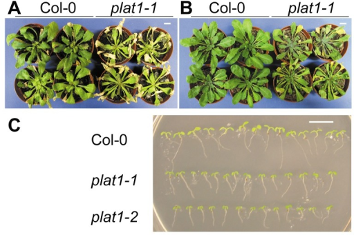 PLAT1 loss-of-function reduces abiotic stress tolerance.(A) Salt stress tolerance in wild-type (Col-0) and plat1-1 seedlings irrigated with 200 mM NaCl for 14 d. n≥10 (B) Drought stress tolerance in wild-type and plat1-1 seedlings, following 14 d without watering. n≥10 (C) Cold stress tolerance in 7-d-old wild-type, plat1-1 and plat1-2 seedlings following 14 d of incubation at 8°C. n = 14. Scale bar = 1 cm.