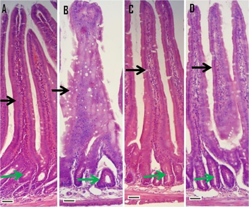 Histology of hematoxylin and eosin stained sections of rat intestine (duodenum section).Duodenum in the untreated control (A) shows normal epithelia of both villi and intestinal glands whereas KBrO3 treated group (B) reveals extensive damage of both components with the lumen being filled with debris. The taurine alone group (C) shows reasonably well preserved condition of both components while taurine+KBrO3 treated group (D) shows resumption in the morphology of both villi and intestinal glands. Intestinal villi are shown by black arrow and intestinal crypts by green arrow. Magnification is 200 X, scale bar [−] = 50 μm.