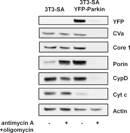 Expression of exogenous Parkin enables mitophagy. 3T3-SA cells with or without expression of YFP-Parkin were treated with 1 μM antimycin A + 1 μM oligomycin and analyzed by Western Blotting after 48 h using the MitoProfile Membrane integrity WB Antibody Cocktail. Actin was used as a loading control. The immunoblots shown are representative of what was seen in at least three independent experiments.