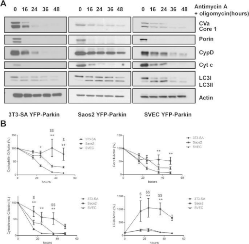 Induced-mitophagy can be used to measure differential autophagy kinetics in different cell lines. (A) 3T3-SA-YFP-Parkin, Saos2 YFP-Parkin and SVEC YFP-Parkin cells were treated with 1 μM antimycin A + 1 μM oligomycin for the indicated time periods. Cell lysates were analyzed by Western blot using the MitoProfile Membrane integrity WB Antibody Cocktail, and an anti-LC3B antibody. Actin was used as a loading control. (B) Protein quantification from three independent experiments was determined by ImageJ software using the intensity of the band and expressed as mitochondria protein to actin ratio (%). ∗,∗∗Indicate significant differences between 3T3-YFP-Parkin and Saos-2 YFP-Parkin (∗p < 0.05; ∗∗p < 0.001) and $ indicates significant difference between SVEC YFP-Parkin and Saos-2 YFP-Parkin. $p < 0.05; $$p < 0.01.