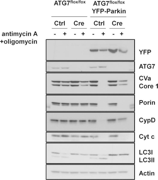 Enhanced-mitophagy can detect genetic loss of autophagy. ATG7flox/flox MEFs expressing YFP-Parkin together with either a retrovirus expressing Cre recombinase or control virus were treated with 1 μM antimycin A + 1 μM oligomycin for 24 h. Lysates were analyzed by Western blotting was undertaken using the MitoProfile Membrane integrity WB Antibody Cocktail, an anti-LC3B antibody and an anti-actin antibody as a loading control. The immunoblots shown are representative of what was seen in three independent experiments.