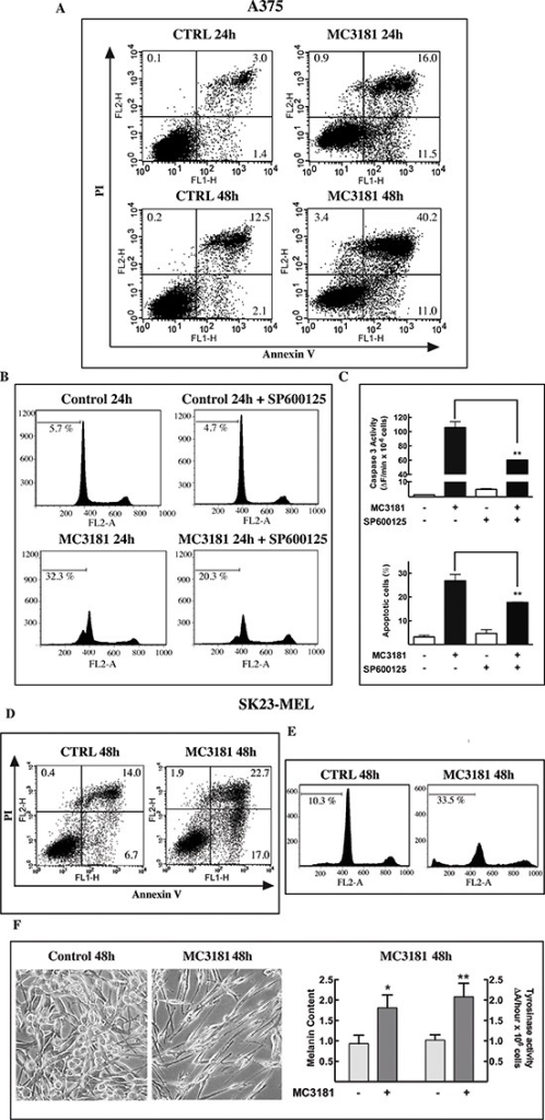 MC3181 triggers JNK-dependent apoptosis in A375 cells andmorphological changes in SK23-MEL cells(A) The percentage of early apototic, late apoptotic, andnecrotic A375 cells was evaluated by cytofluorimetric analysis ofAnnexin V versus PI staining, after 24 and 48 hrs incubation with 10μM MC3181. (B, C) Pre-incubation of A375 cell linewith the JNK inhibitor SP600125 (20 μM) significantly reduced thepercentage of Sub-G1 (apoptotic) cells, and strongly suppressedcaspase-3 activation. (D) Percentage of early apototic,late apoptotic, and necrotic cells and (E) of sub-G1 phasepopulation in SK23-MEL cells following 48 hrs exposure to 7 μMMC3181. (F) Phase-contrast microscopy images (10Xmagnification, 3X digital magnification) show SK23-MEL cells with atypical triangular dendritic/spindle shape in control cultures, whilstbipolar spindle morphology is induced by 48 hrs incubation with MC3181(7 μM). An increase of melanin content and tyrosinase activitywere also observed in SK23-MEL cells after 48 hrs incubation withMC3181. Data represent means ± SD of three independentexperiments.