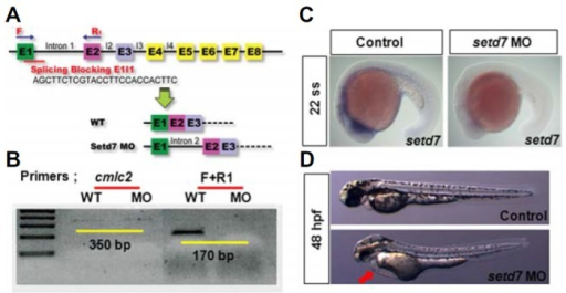 SETD7-deficent embryo shows the developmental heart edema. (A) Design of the splicing blocking morpholino oligo (MO) targeting to setd7. (B) Validation of setd7 MO efficacy. Normal transcript of setd7 presenting RT- PCR by F and R1 primers was largely reduced. (C) The endogenous expression of setd7 was determined by whole mount in situ hybridization experiment in control and setd7 knock-down embryos. (D) Phenotypes of embryos injected control and setd7 MO. Red arrow points to cardiac edema at 48 hpf. Anterior is left.