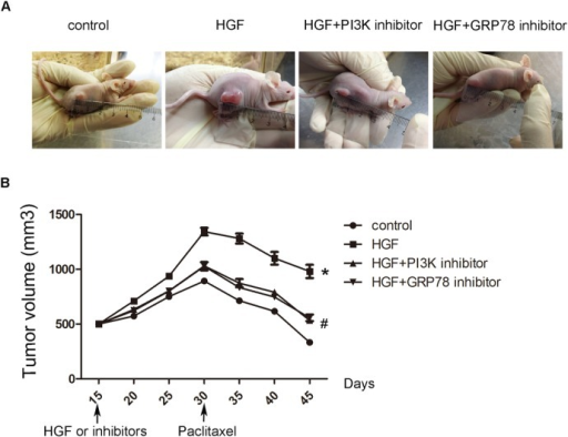 The validation in in vivo xenograft model.(A) Representative images of tumor size in different groups of nude mice on the 60th day after treatment. (B) Growth curves in different groups of nude mice. *P<0.05 vs control group, #P<0.05 vs HGF group.