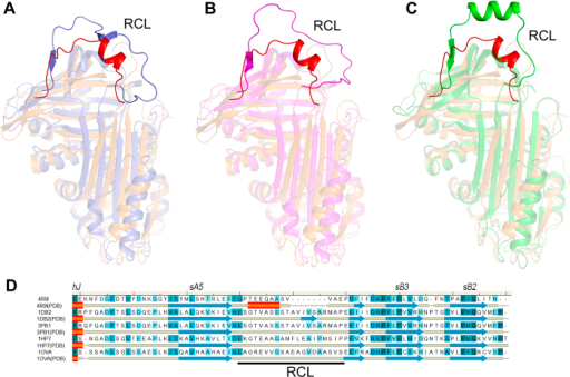 Close-up view of RCL.(A) Comparision of the overallstructure between serpin18 (orange) and human plasminogen activator inhibitor-1 (PDB: 1DB2, blue), (B) human plasminogen activator inhibitor-1 complexed with plasminogen activator (PDB: 3PB1, lightmagenta) and (C) Ovalbumin (PDB: 1OVA, green). All figures were prepared using PyMOL. The reactive center loop of serpin18 and the counterparts of serpins are highlight. (D) Structure-based multialignment of Bombyx mori serpin18 (NP_001139711.1) and 1DB2, Homo sapiens plasminogen activator inhibitor-1 (NP_000593.1; Identity, 18.8%; RMSD, 4.2 Å); 3PB1, Homo sapiens plasminogen activator inhibitor-1 ((NP_000593.1; Identity, 18.6%; RMSD, 4.6 Å ); 1HP7, Homo sapiens alpha-1-antitrypsin (NP_000286.3; Identity, 21.3%; RMSD, 4.5 Å) and 1OVA, Gallus gallus ovalbumin (NP_001073231.1; Identity, 16.9%; RMSD, 4.3 Å). The second structure elements are indicated under the primary sequences, and the conserved residues are shaded in blue. The multialignment was generated based on the structural superposition44.