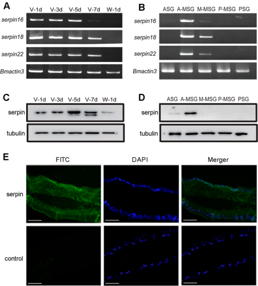 Expression patterns and localization of serpins in the silk gland.(A) Expression patterns of serpin16, serpin18 and serpin22 genes in the day1, 3, 5, 7 of the fifth instar (V-1d, V-3d, V-5d, V-7d), and the hour 12 after wandering (W-1d). (B) Expression patterns of serpin were from female or male larvae in the different segments of the silk gland in the day 5 of the fifth instar. Western blot analysis for serpin18 and its paralogs in the (C) developmental stages of the fifth instar and (D) different segments of the silk gland. The silkworm tubulin was used as internal control. The gels were run under the same experimental conditions and the full length blots and gels are presented in Supplementary Figure S6. (E) Immunofluorescence analysis of serpin18 and its paralogs in the A-MSG on fifth day of the fifth instar. Slides were incubated with anti-serpin16 antibody followed by the secondary antibody labeled with FITC (greeen) and counterstained with DAPI (blue). Control experiments were also performed using pre-immune serum. Bar, 100 μm.