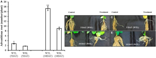 Number of adventitious root and images of adventitious roots at 5 and 10 days after waterlogging stress. In the figure, (A) indicates the number of adventitious roots and WTL indicates the waterlogging tolerant line (PI408105A), and WSL indicates the waterlogging susceptible line (S99-2281). (B–E) Indicate the images of adventitious roots and in each picture, the control plant is on the left, and waterlogging treated plant on the right. In (A), star marks indicate a significant difference between control and treatment at P < 0.05 or P < 0.01. Data show average ± standard error (n = 20) and was collected over three replications.