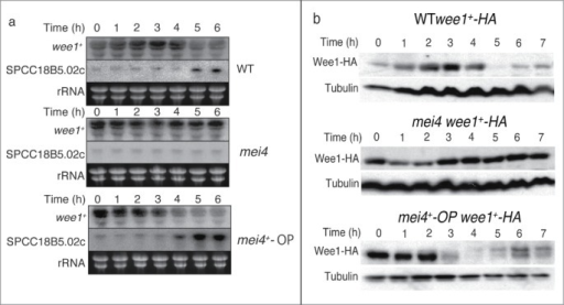 Expression of wee1+ and SPCC18B5.02c during meiosis and the effects of mei4+ deletion or overexpression. Cells of the indicated genotypes (wild-type (WT), HM1307; mei4, HM2163; mei4+-OP, HM4582; WT wee1+-HA, HM4732; wee1+-HA, mei4, HM4833; and mei4+-OP wee1+-HA, HM4735) were subjected to synchronous induction of meiosis as described in the Materials and Methods. Samples were collected at the indicated time points thereafter and subjected to Northern blot analysis of wee1+ and SPCC18B5.02c mRNA (rRNA (rRNA) was stained with ethidium bromide as the loading control) (A) or Western blot analysis with anti-HA and anti-α-tubulin (loading control) antibodies (B).