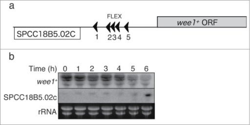 Effects of deletion of the FLEX sites near to wee1+ on wee1+ gene expression. (A) Schematic representation of the wee1+ and SPCC18B5.02c loci according to the Sanger Center database. ORF, open reading frame; (B) The region of the wee1+ gene containing FLEX1, FLEX2, FLEX3, and FLEX4 was deleted (HM5678). Meiosis was induced in the resulting cells as described in Fig. 1. Samples were collected at the indicated time points after meiosis induction and subjected to Northern blot analysis of wee1+ and SPCC18B5.02c mRNA. Ribosomal RNA (rRNA) was stained with ethidium bromide as the loading control.