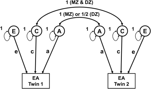 Path diagram for the basic univariate twin model used estimation of sources of variance in EA.The additive genetic factors (A) have a correlation of 1 between MZ twins and 0.5 between DZ twins, respectively. Shared family environment (C) is correlated 1 for both MZ and DZ twins. Unique environment (E) is the source of variance that will result in differences among members of one family and is, thus, uncorrelated between members of MZ and DZ pairs. The regression coefficients for A, C and E effects, are 'a', 'c' and 'e', respectively.