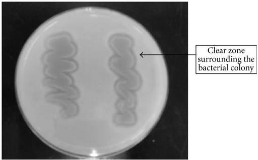 Clear zone formation produced by Acidovorax sp. DP5 on P(3HB) agar plate. Cells were grown for 4-5 days at 30°C to form clear zone surrounding the bacterial colony.