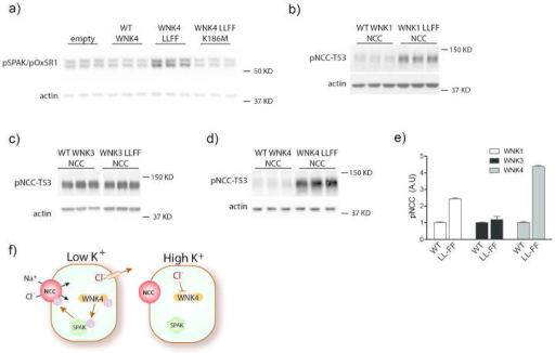 Effects of mutating the WNK Cl--sensing motif on SPAK and NCC in HEK cellsa) Western blot for pSPAK/pOxSR1 on HEK cells transfected with empty vector, WT WNK4, WNK4 L322F L324F (WNK4 LLFF), or kinase-dead WNK4 LLFF K186M. WT WNK4 reduced pSPAK/pOxSR1 abundance and WNK4 LLFF increased it. WNK4 LLFF K186M reduced pSPAK/pOxSR1 abundance to levels similar to WT WNK4. All effects were significant (p<0.05) by one-way ANOVA with Dunnett's multiple comparisons test. b-d) Western blots for pNCC-T53 in HEK cells expressing NCC and b) WT WNK1 or WNK1 L369F L371F, c) WT WNK3 or WNK3 L295F L297F, or d) WT WNK4 or WNK4 L322F L324F. LLFF mutations in WNK1 and WNK4 increased pNCC abundance. p<0.05 by unpaired t-test for both. WNK3 LLFF did not affect pNCC differently than WT WNK3. e) Bar chart comparing relative effects of the different WNK LLFF mutants versus their WT forms. p<0.05 by two-way ANOVA. Representative images are shown. f) Cartoon suggesting how K+ intake affects NCC. When plasma [K+] is low, chloride effluxes from cells, activating WNK4 kinase, which phosphorylates SPAK and therefore NCC. When plasma [K+] is high, higher intracellular chloride concentration inhibits WNK4 kinase activity so it cannot activate SPAK or NCC. Note that, for clarity, the cartoon shows phosphorylation events as 'all or none'. These effects are likely highly graded in vivo.