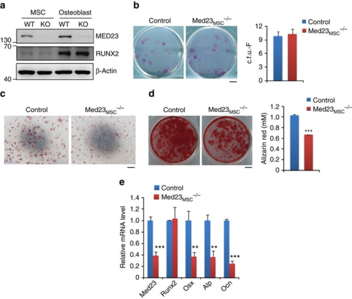 Med23 deficiency inhibits osteoblast differentiation.(a) Expression of Med23 and Runx2 in bone marrow-derived mesenchymal stem cells and calvarial osteoblasts from 6 to 8-week-old control and Med23MSC−/− mice. Isolated cells were expanded and analysed by western blotting. (b) c.f.u.-F assay for bone marrow cells from control and Med23MSC−/− littermates. Representative images of c.f.u.-Fs stained with crystal violet (left, scale bar, 0.5 cm) and quantification of c.f.u.-Fs (right, n=3 for each group.). Data represent means±s.d. t-test. (c) ALP staining of bone marrow mesenchymal stem cells after cultured for 7 days in osteogenic medium. Scale bar, 500 μm. (d) c.f.u.-ob assay for bone marrow of control and Med23MSC−/− littermates. Bone marrow cells were cultured in osteogenic medium for 21 days, followed by staining with Alizarin red (left, scale bar, 0.5 cm) and quantification (right, n=3 for each group). Data represent means±s.d. t-test.***P<0.001 (e) The relative mRNA levels of Med23, Runx2, Osx, Alp and Ocn were quantified by RT–PCR. Data represent means±s.d. All data represent means±s.d. t-test, **P<0.01, ***P<0.001.