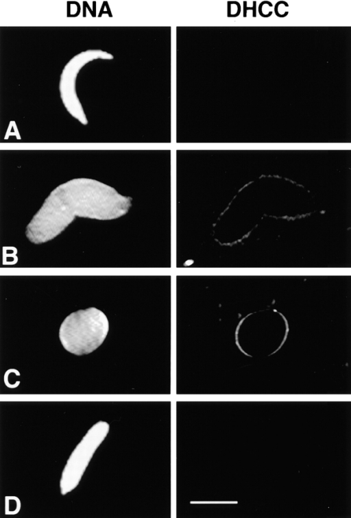 Reconstitution of NE assembly with purified particulate fractions. Demembranated sperm was incubated in cytosol  with the addition of MP1 (A), MP2 (B), MP1+ MP2 l (C), or no  additions (D) for 90 min at room temperature. Samples were processed for fluorescence microscopy (see Materials and Methods).  In each case the left-hand panel shows DNA visualized with  Hoechst 33258 and the right-hand panel shows the same sperm  stained with 3,3′-dihexyloxocarbocyanine (DHCC) to reveal  membranes. Bar, 10 μm.
