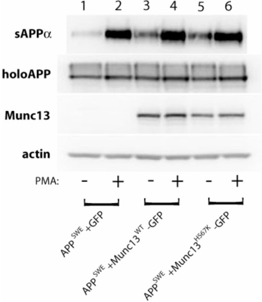 Munc13-1 increases constitutive and phorbol-stimulated sAPPα secretion in a fashion that is independent of the integrity of its phorbol-sensing C1 domain. Levels of soluble APPα (sAPPα) ectodomain were measured by Western blotting of cell supernatants with anti-APP antibody, 6E10, following the treatment of cells with DMSO (-) or 100 nM PMA (+) for 2 hours in a 37°C, 5% CO2 cell culture incubator. Levels of holoAPP were measured from cell lysates with anti-APP antibody 369. Levels of Munc13-1 wild type and Munc13-1 H567K mutant proteins were measured by anti-GFP antibody. Equal protein loading was verified by measuring the levels of actin protein in all cell lysates.