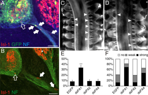 Downregulation of PlexinA1 results in the same phenotype as seen in the absence of Sema6A. (a, b) Motoneurons streaming out of the ventral spinal cord identified by Isl-1 staining were only found after downregulation of PlexinA1 (arrows). The open arrow points to a motoneuron that is located in the ventral funiculus. Note that sensory neurons in the DRG (asterisk) are also stained by Isl-1. (e) Lack of none of the other PlexinAs enhanced the number of motoneurons found along the ventral roots compared to control-treated embryos (p = 0.0001 for the comparison between dsPA1 and all other treatment groups (indicated by three asterisks); values are given as mean ± standard error of the mean; see Figure 2b). (c, d) The phenotype seen after downregulation of Sema6A in dorsal BCCs was mimicked by both lack of PlexinA1 (c) and PlexinA4 (d). The effects of PlexinA downregulation were qualitatively different, however. In the absence of PlexinAs, the arrangement of DRGs, and not only the arrangement of their roots, was disorganized. (f) A phenotype was seen in 83% of embryos lacking PlexinA1 and in 67% of the embryos lacking PlexinA4. Bar 50 μm in (a, b); 200 μm in (c, d).