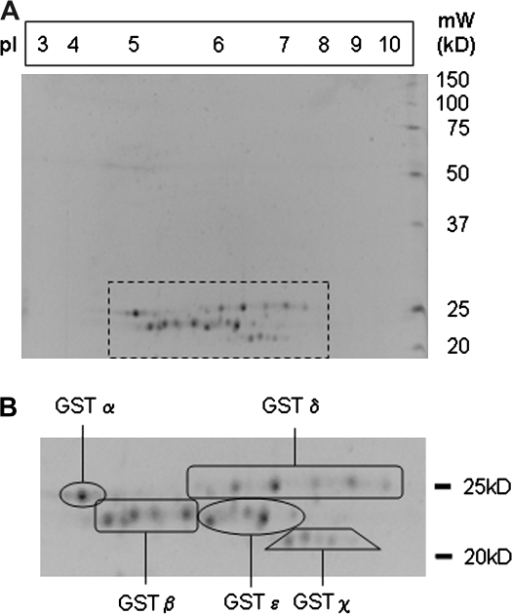(A) Two-dimensional gel electropherogram of glutathione affinity chromatography fractions possessing GST activity. (B) Enlarged image of the boxed region showing grouping based on mass spectrometry fingerprints (refer to Table 1). IEF strip pI3-10NL was rehydrated in the protein precipitate from GST active fractions of the GSTrap column. This was focused for 48 kVh and then separated on a 10% polyacrylamide gel and stained with SYPRO Ruby.