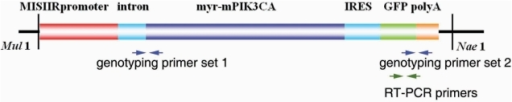 The illustration of the construct that was used to generate transgenic mouse.The arrows show two sets of the genotyping primers and one set of the RT-PCR primers.
