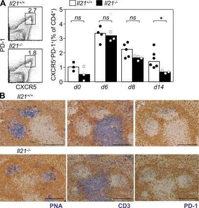 IL-21–deficient mice form Tfh cells after immunization, but their maintenance is impaired. (A) Flow cytometric contour plots and graphical analysis of CXCR5+PD-1+ Tfh cells gated on CD4+ B220− live lymphocytes from Il21+/+ and Il21−/− mice at the indicated time points after SRBC immunization (percentages are shown). (B) Photomicrographs of spleen sections taken from Il21+/+ (top) and Il21−/− (bottom) mice 8 d after immunization with SRBCs. In all panels, IgD is stained in brown; blue color stains indicate PNA binding (left), CD3 (middle), and PD-1 (right). Bars, 200 µm. Statistically significant differences are indicated (*, P ≤ 0.05). Data are representative of two independent experiments, each symbol represents one mouse, and tops of bars are drawn through the median values. ns, not significant.