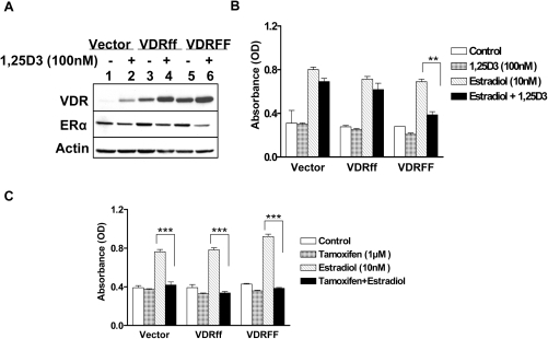 Effects of 1,25D3 on estrogen receptor mediated signaling in relation to selective VDR variants.(A) The cells were treated with 100 nM of 1,25D3 for 48 h and the expressions of VDR and ERα proteins were determined. (B) The same cells were incubated with (E2) in the presence or absence of 100 nM 1,25D3 for 4 days keeping appropriate controls and subjected to the crystal violet assay. (C) The indicated cells were treated with E2 (10nM) in the presence or absence of 1 µM tamoxifen for 4 days and subjected to the crystal violet assay. The data represent analyses of two independent clones with triplicate analyses of each clone. Bars, mean ±SD; **P<0.01, ***P<0.001 (one-way ANOVA test).