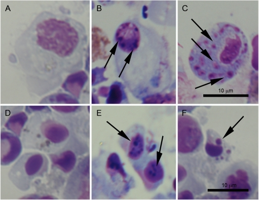 Histological changes related to the apoptotic process observed in hemocytes treated with UV light.A and D: Control granulocytes and small hyalinocytes not treated with UV-light. B: Slight chromatin condensation in granulocytes observed after 3 h pt. C and F: Appearance of intracellular bodies, positive stained for DNA, inside the cytoplasm of granulocytes and hyalinocytes, respectively after 24 h pt. E: Chromatin condensation in small hyalinocytes after 6 h pt.